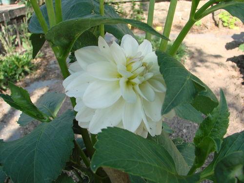2008 07 27 Ma première fleur de dalhia