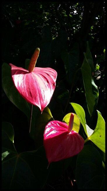 fleursgwada1a