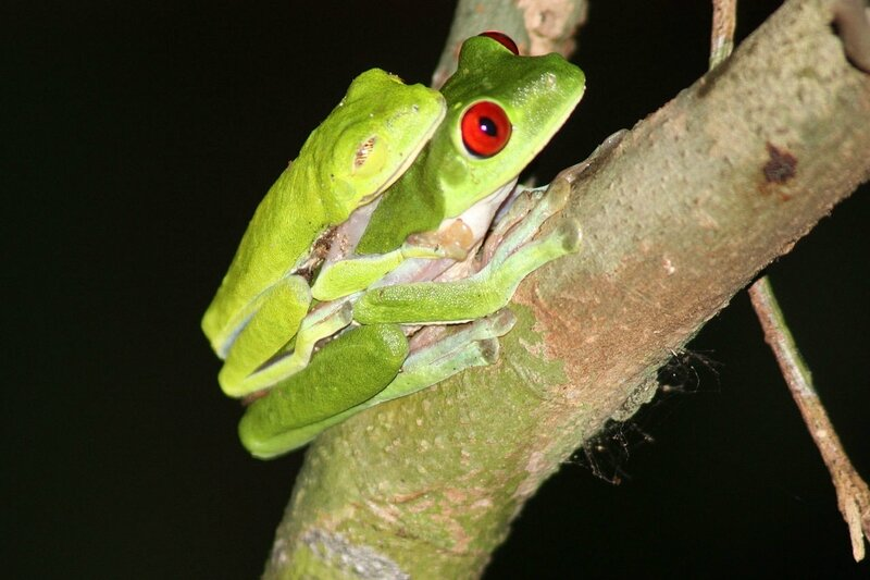 1280px-Red-eyed_tree_frogs_mating