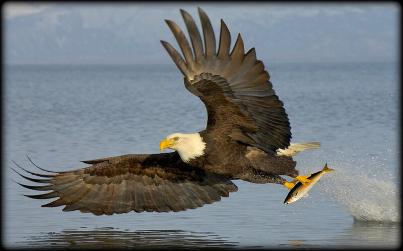 853968__bald_eagle_fishing_p