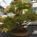 bonsai erable