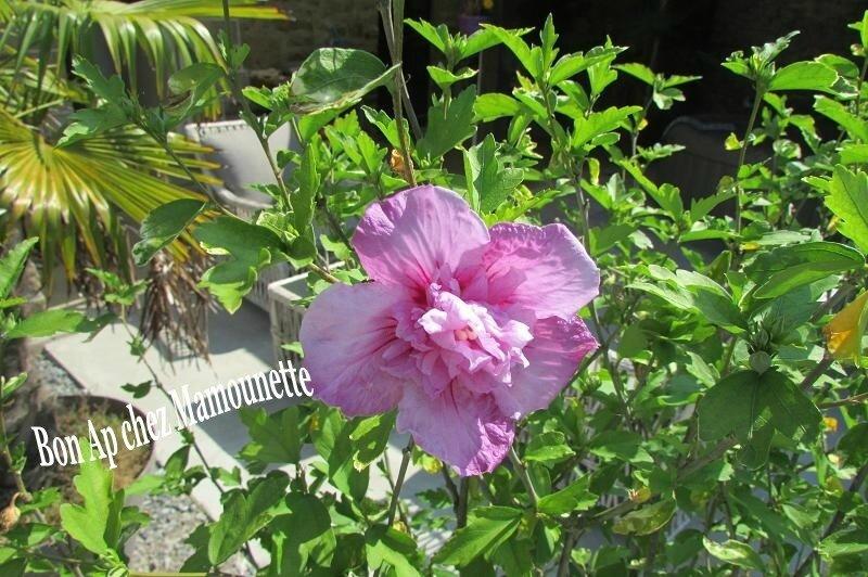Hisbiscus en fleurs chez Mamounette st Malo 001