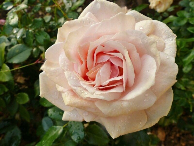 garden of roses (7)