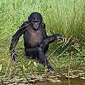 Pathologies cardiaques des grands singes captifs : une étude inédite lancée en europe !
