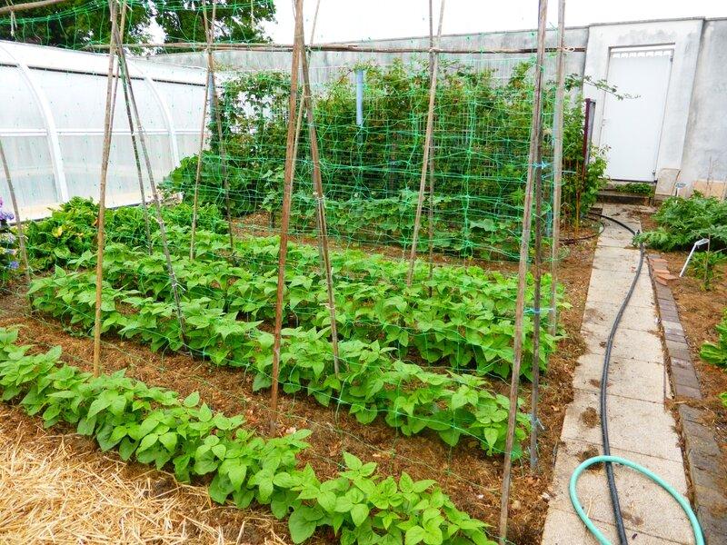 23-jardin ouest--haricots tarbais