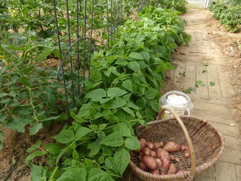 12-pommes de terre-nouvelles (4)