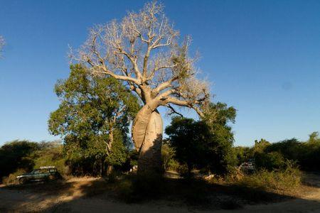 baobabs-amoureux