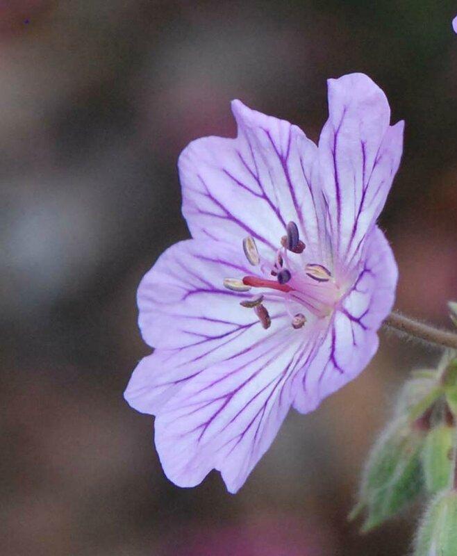 Geranium malviflorum