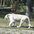 Un tigre blanc (merci Nath pour la photo !!)