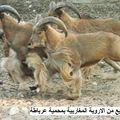 gafsa raouf kaabachi (21)