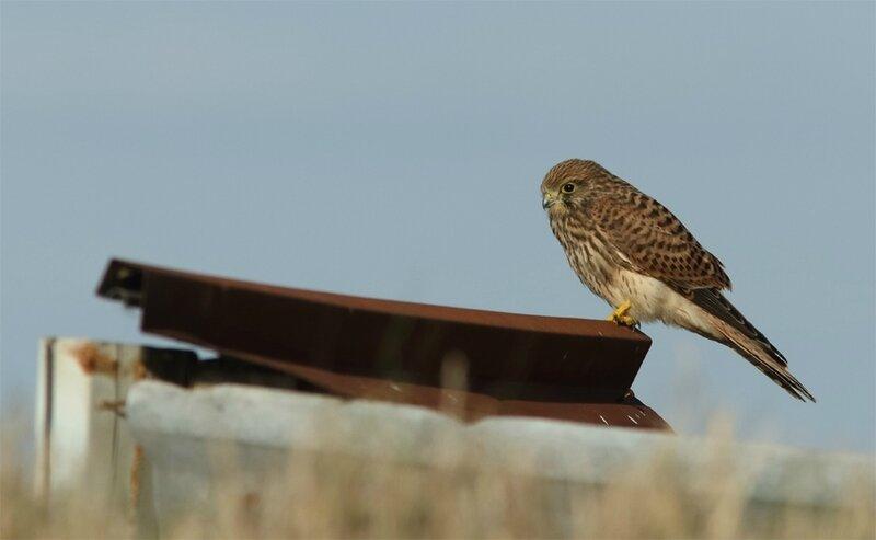 Falco tinnunculus - Faucon crécerelle (femelle)