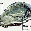 huitre_anatomie1