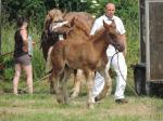 Poulain de Balboa 2 et Aprodite - 20 Juin 207 - Concours élevage local - Bonningues les Ardres (62)