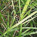 Noctuelle en deuil (Tyta luctuosa)