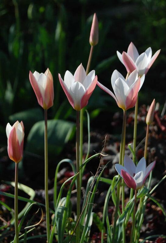 Tulipa 'Lady Jane'
