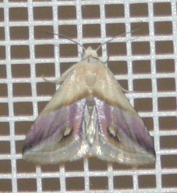 Porphyrinia cochylioides