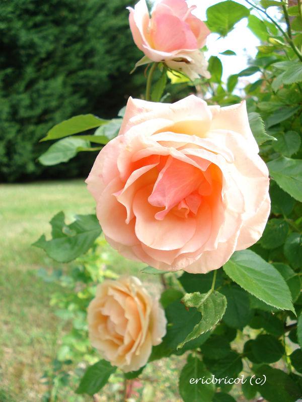 mes fleurs 009 modifi 1 photo de toutes les fleurs du jardin c eric bricol. Black Bedroom Furniture Sets. Home Design Ideas