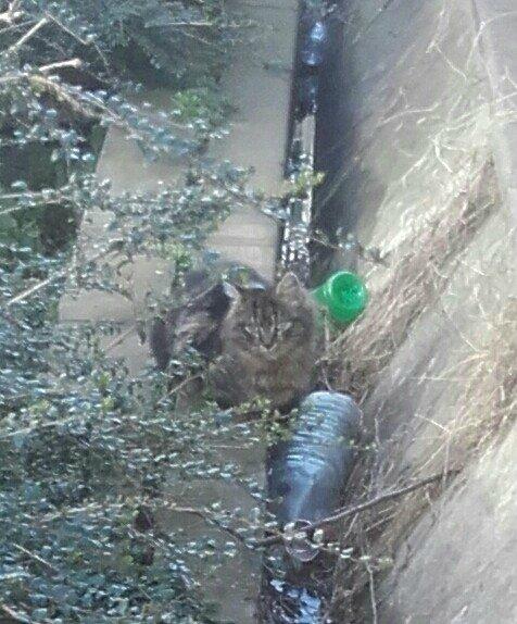 grand chaton angora