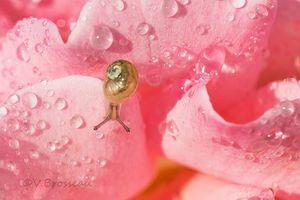 escargot-rose-gouttes2