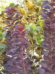 COTINUS_coggygria__Royal_purple_2