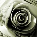 Rose découpée à main levée dans une sonate de Mozart,©Kalifragili (tous droits réservés)