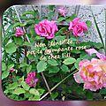balanicole_2016_02_fevrier_rosiers1_39_grimpante rose sans nom2