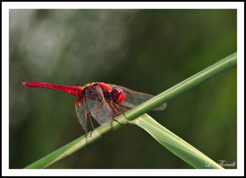 Libellule rouge cb