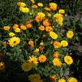 2009 08 18 Mes soucis en fleurs