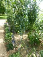 22-tomate cassée (10)