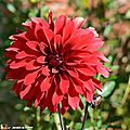Dahlia 'Alex' (Label Rouge)