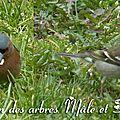 pinson des arbres mâle & femelle