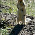 1 mongolie marmotte