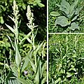 Vératre blanc (melanthiacées)
