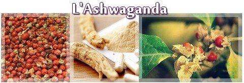 L'Ashwaganda ou le Ginseng Indien
