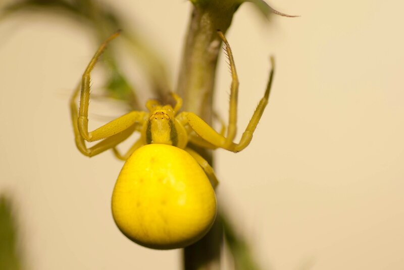 Thomise variable - Misumena vatia (2)