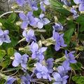 2008 05 12 Des violettes