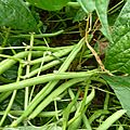 haricots nains - www.passionpotager.canalblog.com
