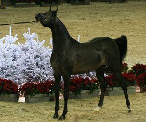 Championnat du monde du cheval arabe le 11 12 10 (44)