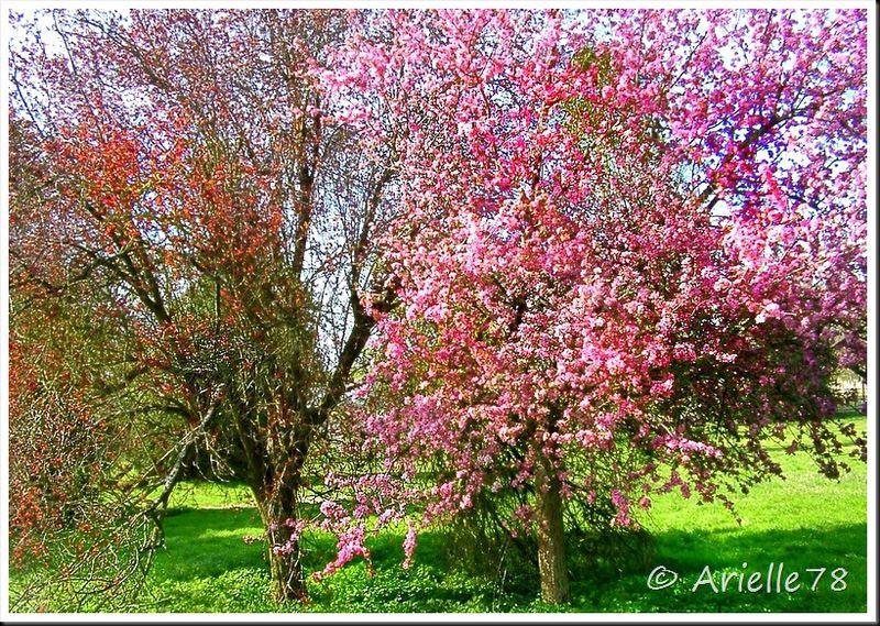 Cerisier Bois Mort : Post? par Arielle78 ? 20:00- Cat?gorie- Dame nature – Commentaires