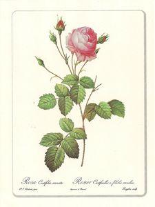 Planche botanique Rose Centifolia Erenata