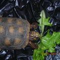 tortue charbonnière