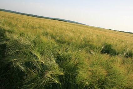 Champs de blé au mois de mai