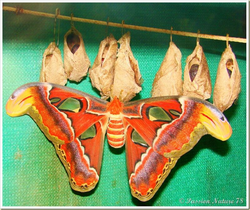 Papillon Attacus Atlas ou Bombyx Atlas (17)