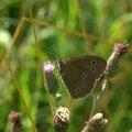 Le Tristan - Aphantopus hyperantus (2)