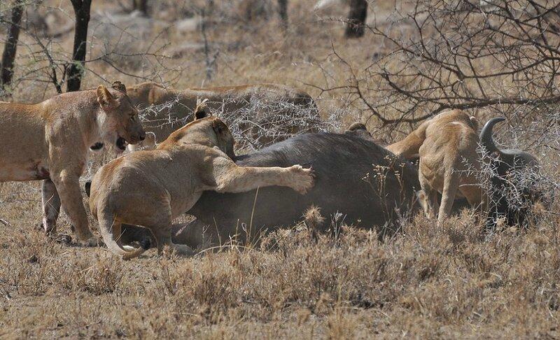 TROUPE DE LIONNES DANS LE SERENGETI