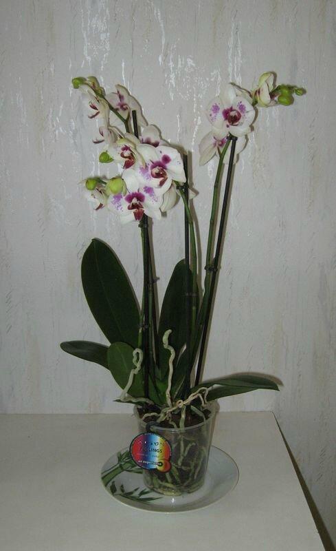 2014 06 02 orchidée