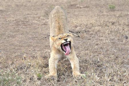 Jeune_lion__parc_Kruger__Afrique_du_Sud__1_