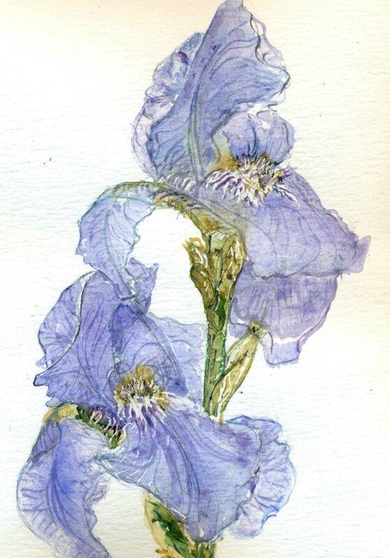 32 Iris