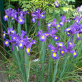 Iris Hollandica 'Blue Magic'