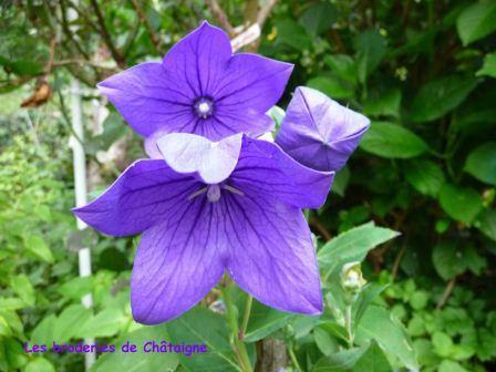 Fleur violette photo de fleurs les broderies de ch taigne - Image fleur violette ...